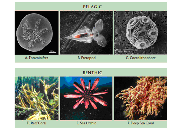 Much of our marine life relies on the presence of calcium carbonate as a building block for survival. in ocean water