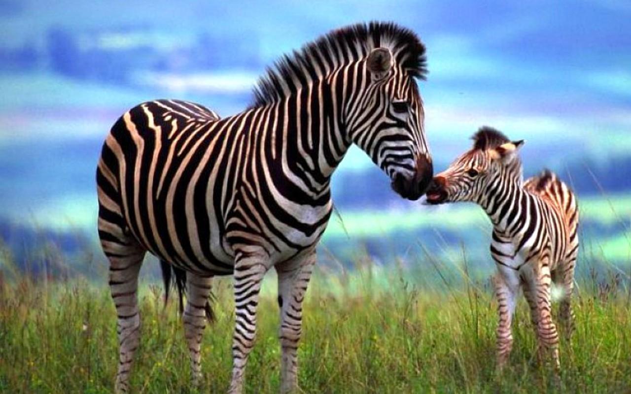 A bacteria found in zebra  Zebra