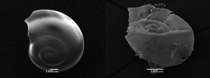 acidification-impact-on-pteropod-shells