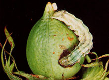 cotton-bollworm