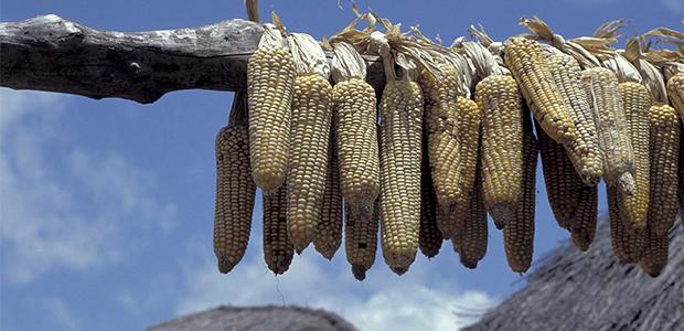 RSA GM Corn