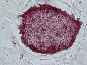 Pluripotent adult stem cells