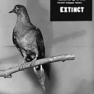 extinction.passenger.pigeonx299