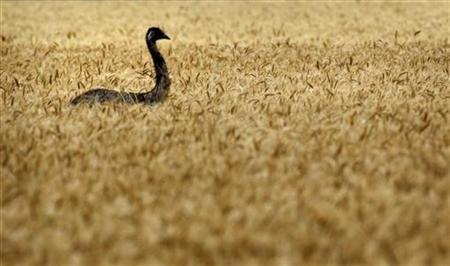 Experts-develop-salt-tolerant-high-yield-wheat