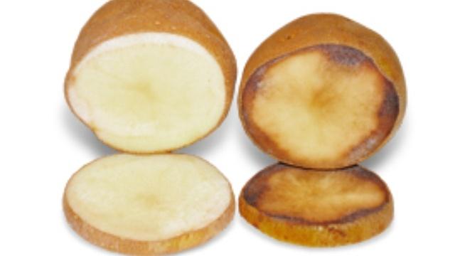 Simplot GM Potato