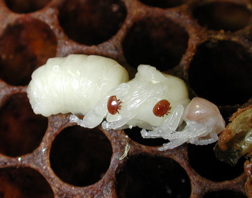 Varroa mite on honey bee pupae