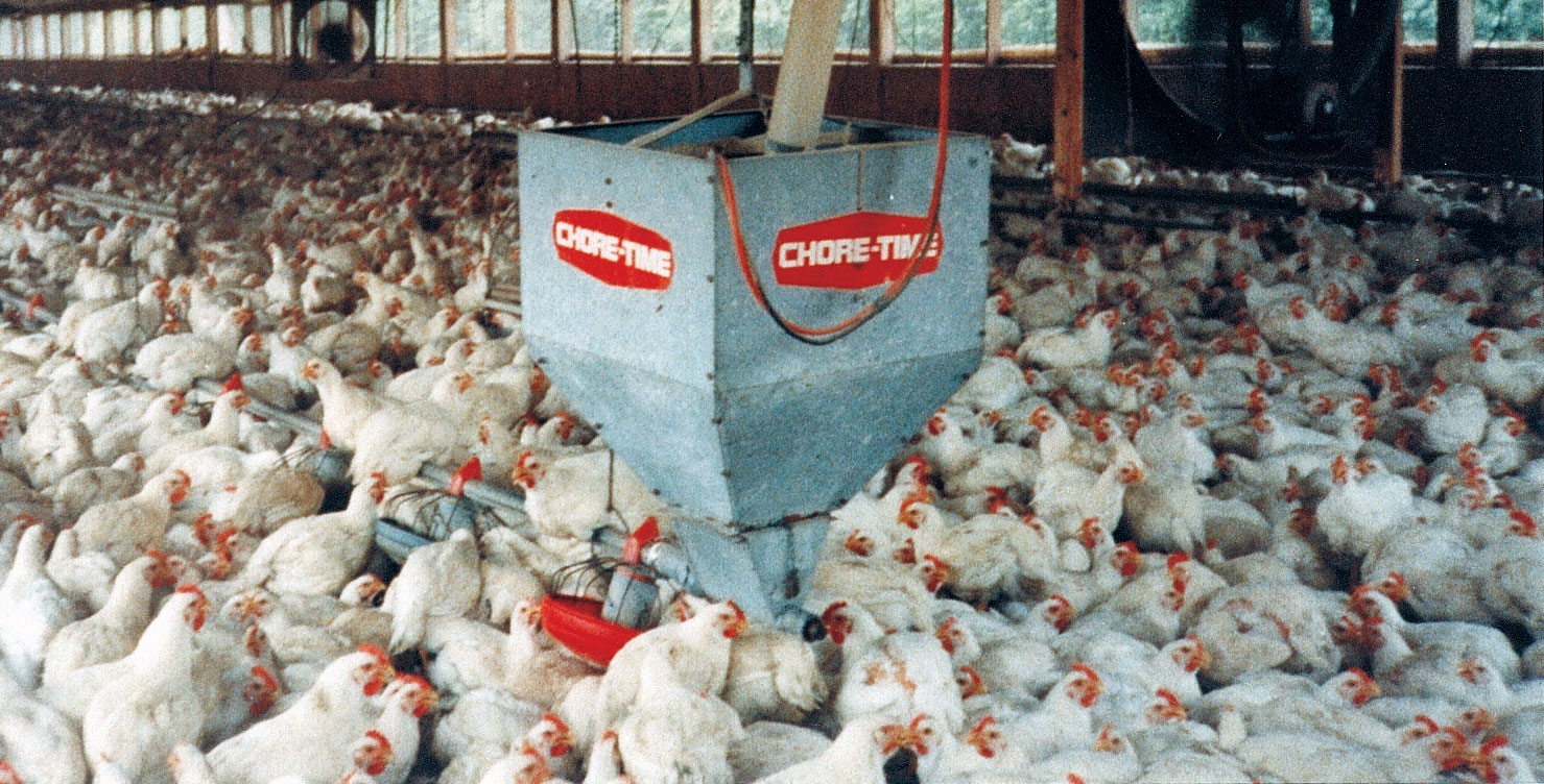 Factory farmed chickens