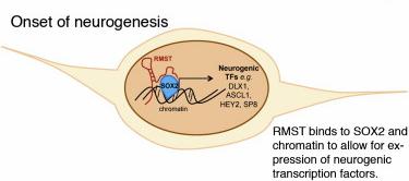 RMST neurogenesis