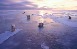 Arctic polar bear on sea ice