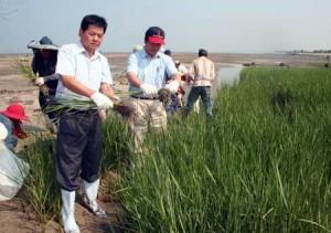 China battles cordgrass