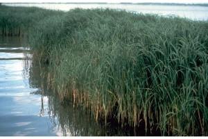 smooth-cordgrass