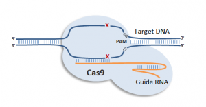 rna_programmed_dna_cleavage_by_crispr_cas9