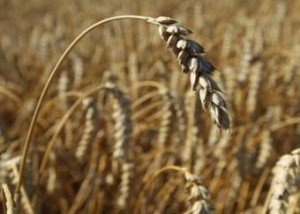 Wheat-CO2 increases