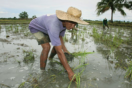 Philippines planting rice