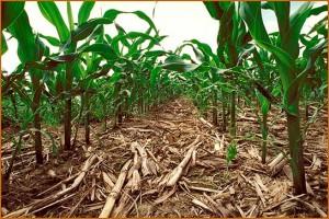 corn_no_till