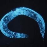 C elegans worm