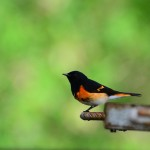 Climate change and migratory birds