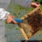 Strengthening Honeybees through Genomics