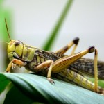 Gizmos & Gadgets: Robot Locomotion Inspired by Grasshoppers