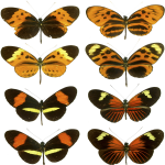 These butterflies are classic examples of genetic polymorphism at work.