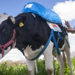 Gizmos & Gadgets: Argentinian Invents Methane Gathering Backpack for Cows