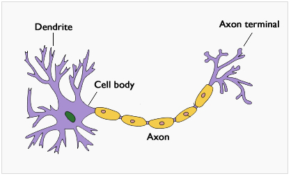 neuron cell body from - photo #35