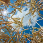 Wheat Genome Finally Sequenced – This is a Big Deal